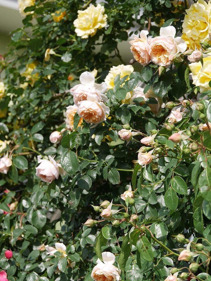 ジンジャー・シラバブ(Ginger Syllabub)の花が増えてきた。ツルバラ。2021年-070.jpg