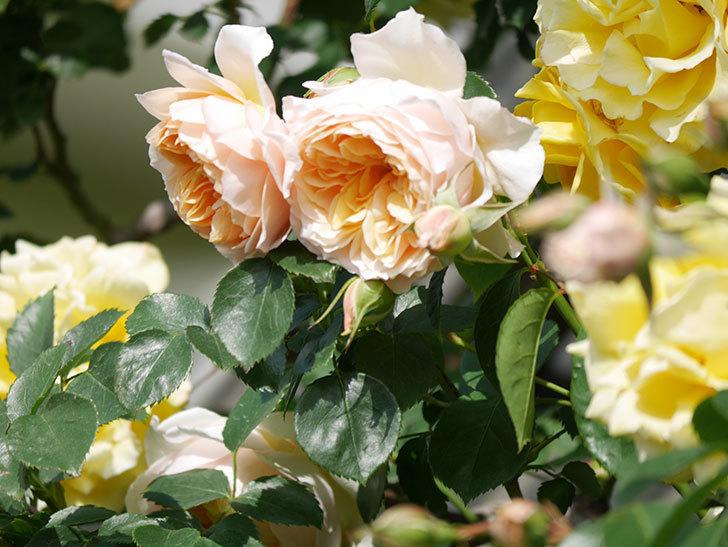 ジンジャー・シラバブ(Ginger Syllabub)の花が増えてきた。ツルバラ。2021年-072.jpg