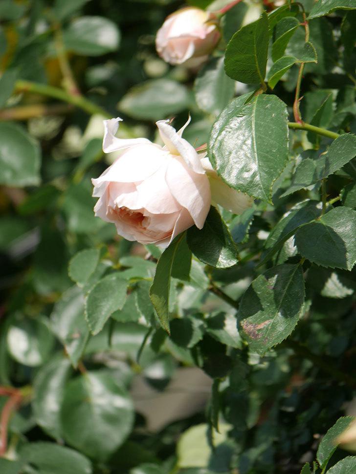 ジンジャー・シラバブ(Ginger Syllabub)の花が増えてきた。ツルバラ。2021年-076.jpg