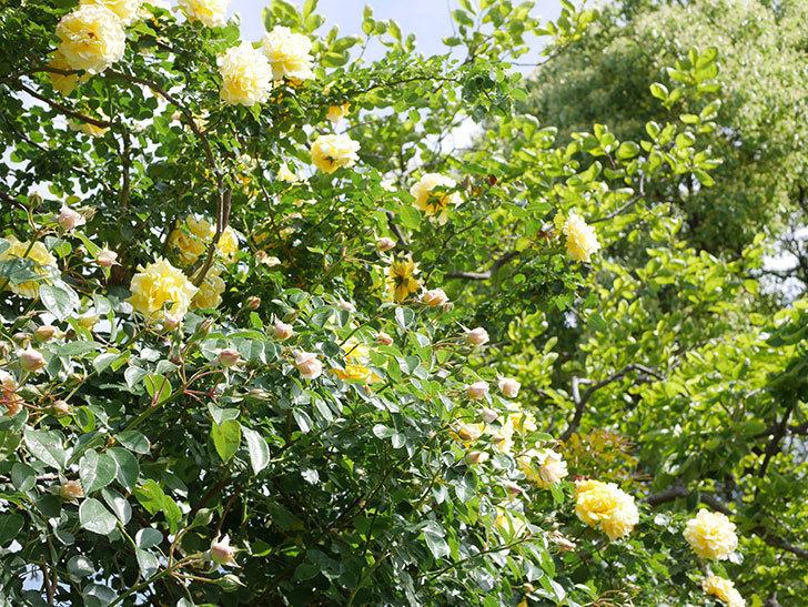 ジンジャー・シラバブ(Ginger Syllabub)の花が増えてきた。ツルバラ。2021年-081.jpg