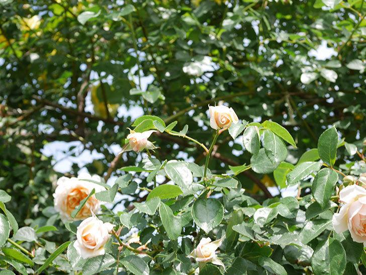 ジンジャー・シラバブ(Ginger Syllabub)の花が増えてきた。ツルバラ。2021年-082.jpg