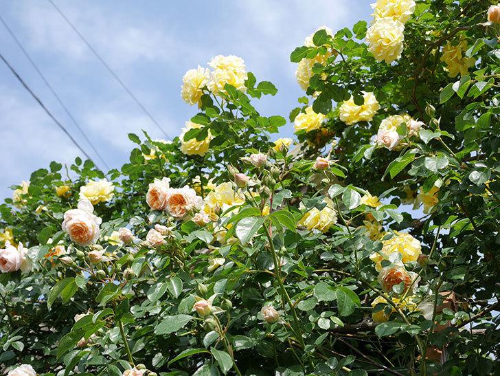 ジンジャー・シラバブ(Ginger Syllabub)の花が増えてきた。ツルバラ。2021年-083.jpg