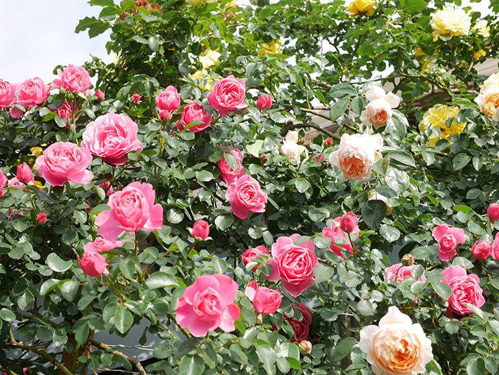 ジンジャー・シラバブ(Ginger Syllabub)の花が増えてきた。ツルバラ。2021年-084.jpg