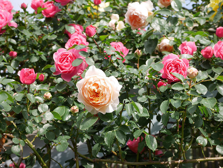 ジンジャー・シラバブ(Ginger Syllabub)の花が増えてきた。ツルバラ。2021年-087.jpg