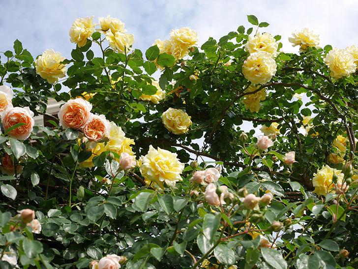 ジンジャー・シラバブ(Ginger Syllabub)の花が増えてきた。ツルバラ。2021年-090.jpg