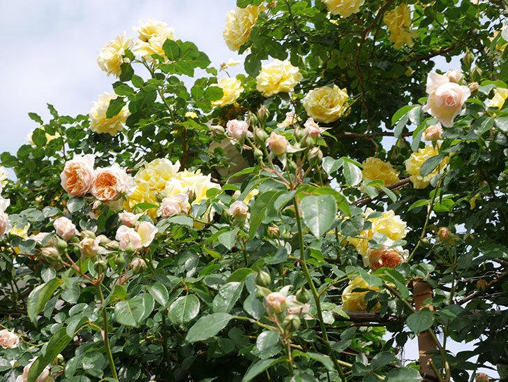 ジンジャー・シラバブ(Ginger Syllabub)の花が増えてきた。ツルバラ。2021年-091.jpg
