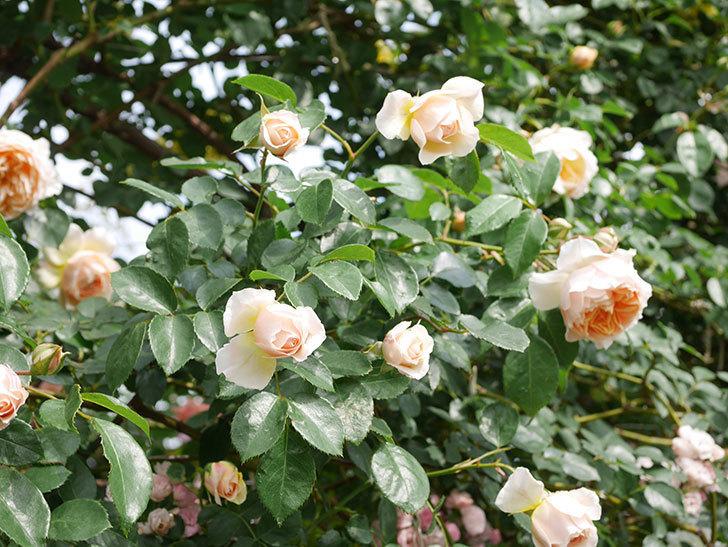 ジンジャー・シラバブ(Ginger Syllabub)の花が増えてきた。ツルバラ。2021年-093.jpg
