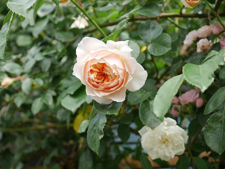 ジンジャー・シラバブ(Ginger Syllabub)の花が増えてきた。ツルバラ。2021年-095.jpg