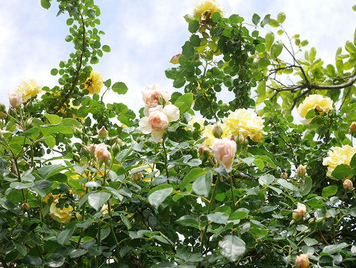 ジンジャー・シラバブ(Ginger Syllabub)の花が増えてきた。ツルバラ。2021年-096.jpg