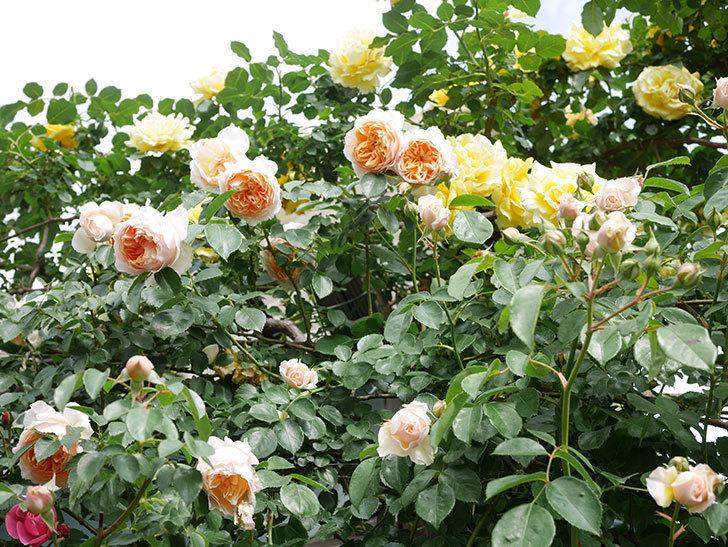 ジンジャー・シラバブ(Ginger Syllabub)の花が増えてきた。ツルバラ。2021年-097.jpg