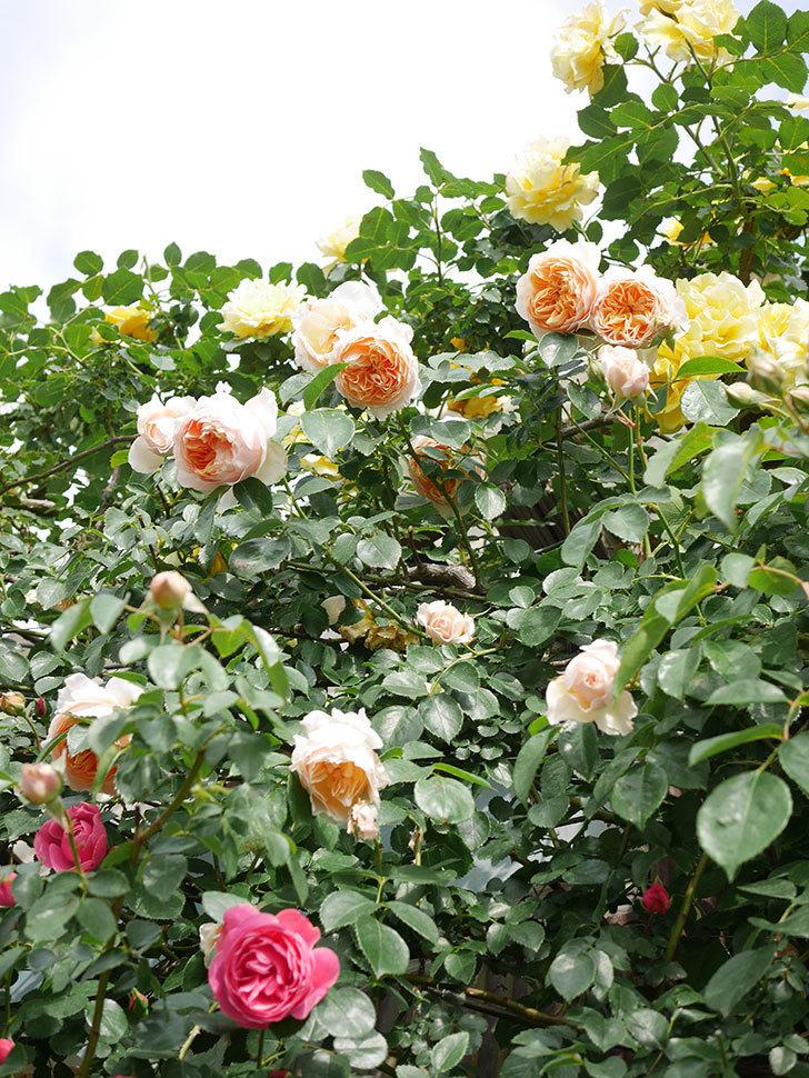 ジンジャー・シラバブ(Ginger Syllabub)の花が増えてきた。ツルバラ。2021年-098.jpg