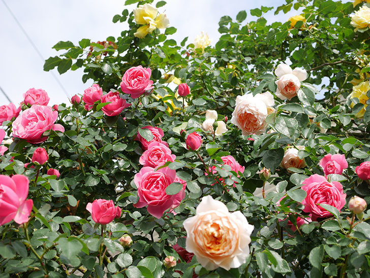 ジンジャー・シラバブ(Ginger Syllabub)の花が増えてきた。ツルバラ。2021年-099.jpg