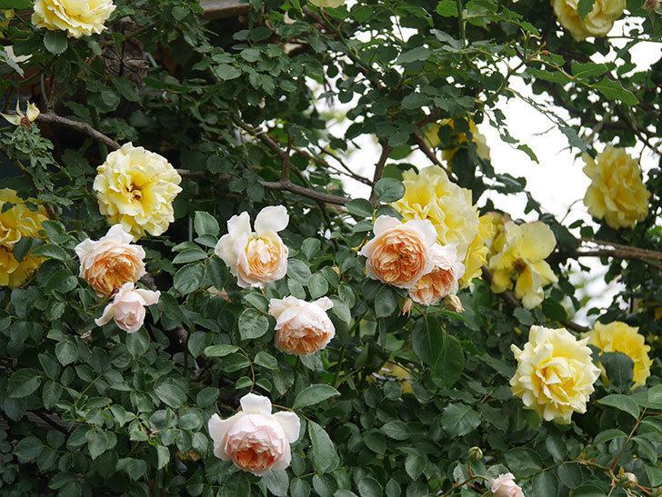ジンジャー・シラバブ(Ginger Syllabub)の花が増えてきた。ツルバラ。2021年-100.jpg