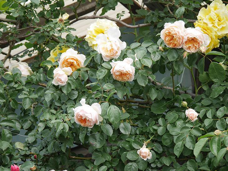 ジンジャー・シラバブ(Ginger Syllabub)の花が増えてきた。ツルバラ。2021年-103.jpg