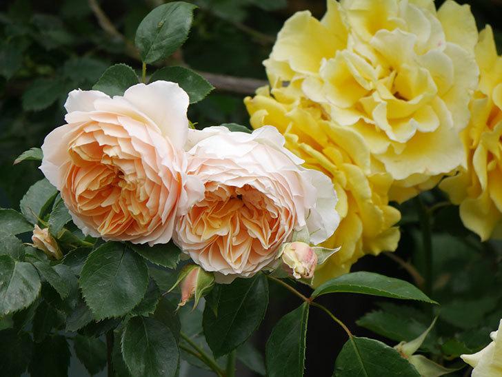 ジンジャー・シラバブ(Ginger Syllabub)の花が増えてきた。ツルバラ。2021年-104.jpg