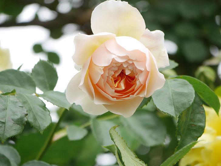 ジンジャー・シラバブ(Ginger Syllabub)の花が増えてきた。ツルバラ。2021年-105.jpg