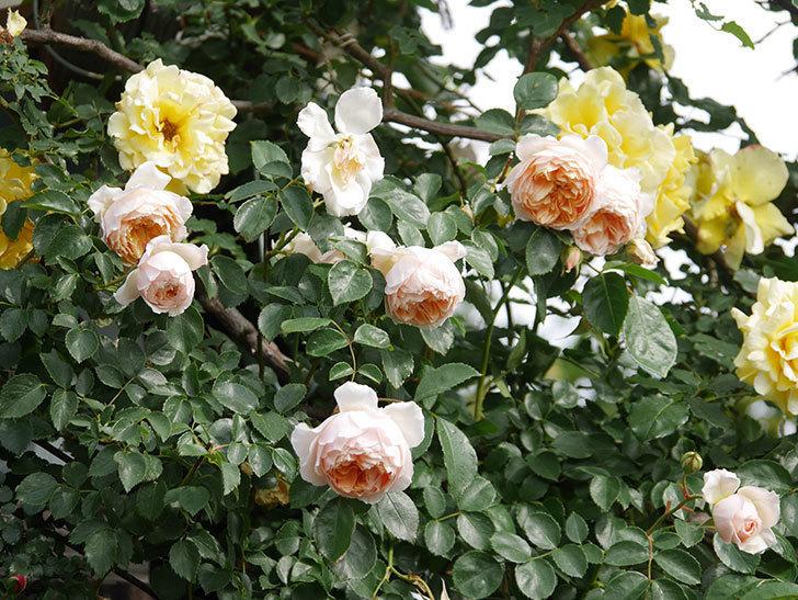 ジンジャー・シラバブ(Ginger Syllabub)の花が増えてきた。ツルバラ。2021年-106.jpg