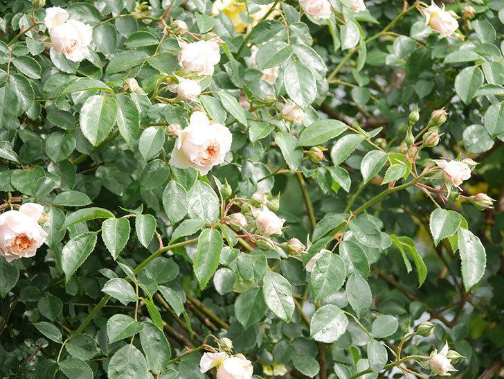 ジンジャー・シラバブ(Ginger Syllabub)の花が増えてきた。ツルバラ。2021年-108.jpg