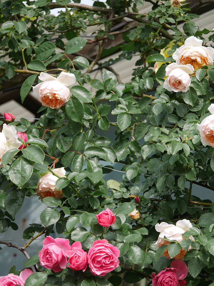 ジンジャー・シラバブ(Ginger Syllabub)の花が増えてきた。ツルバラ。2021年-110.jpg
