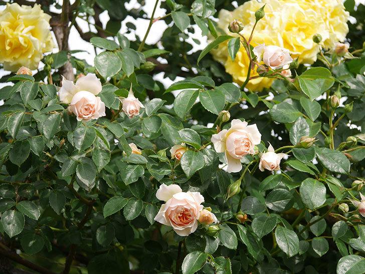 ジンジャー・シラバブ(Ginger Syllabub)の花が増えてきた。ツルバラ。2021年-113.jpg