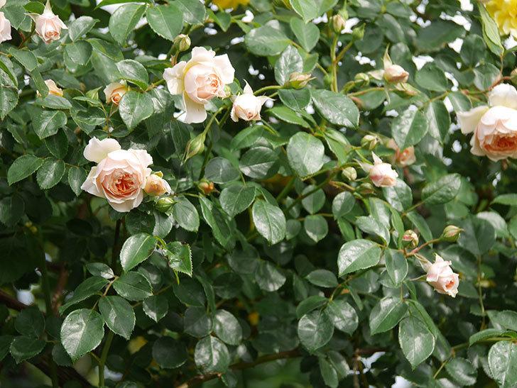 ジンジャー・シラバブ(Ginger Syllabub)の花が増えてきた。ツルバラ。2021年-114.jpg