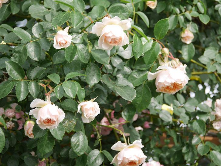 ジンジャー・シラバブ(Ginger Syllabub)の花が増えてきた。ツルバラ。2021年-116.jpg