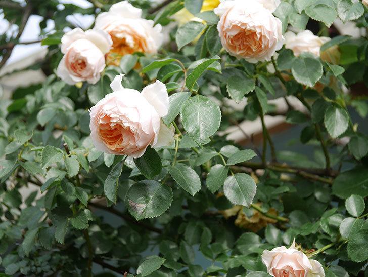 ジンジャー・シラバブ(Ginger Syllabub)の花が増えてきた。ツルバラ。2021年-118.jpg