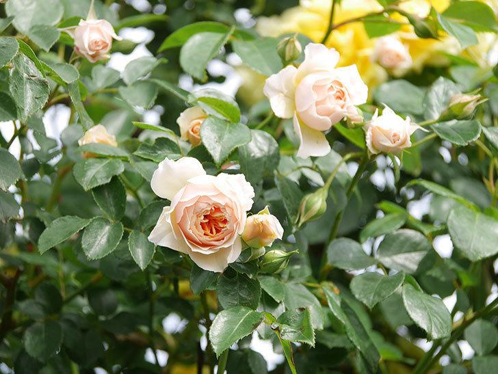 ジンジャー・シラバブ(Ginger Syllabub)の花が増えてきた。ツルバラ。2021年-119.jpg