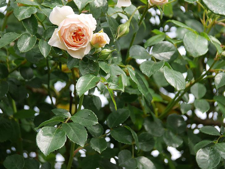 ジンジャー・シラバブ(Ginger Syllabub)の花が増えてきた。ツルバラ。2021年-120.jpg
