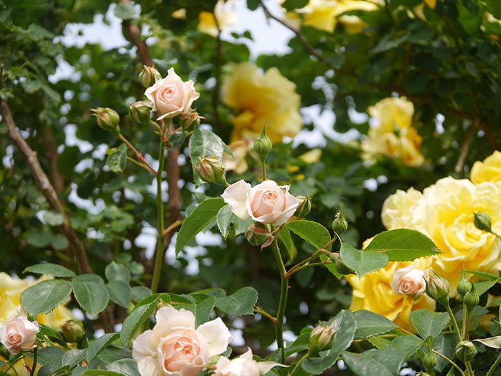 ジンジャー・シラバブ(Ginger Syllabub)の花が増えてきた。ツルバラ。2021年-122.jpg