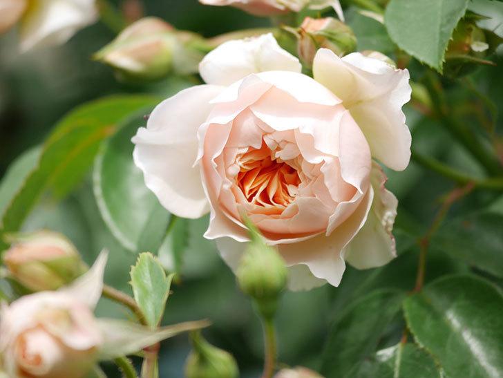 ジンジャー・シラバブ(Ginger Syllabub)の花が増えてきた。ツルバラ。2021年-124.jpg