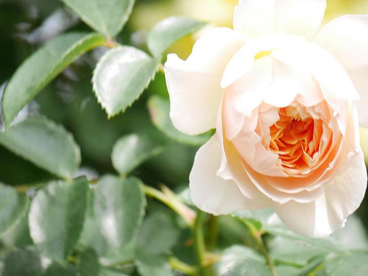 ジンジャー・シラバブ(Ginger Syllabub)の花が増えてきた。ツルバラ。2021年-127.jpg