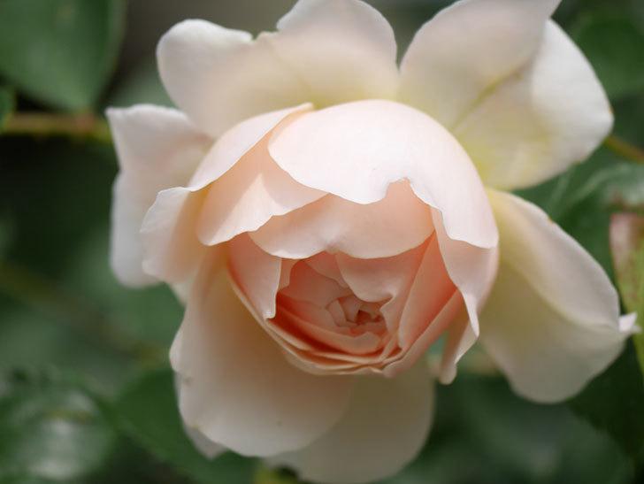 ジンジャー・シラバブ(Ginger Syllabub)の花が増えてきた。ツルバラ。2021年-129.jpg