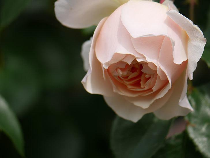 ジンジャー・シラバブ(Ginger Syllabub)の花が増えてきた。ツルバラ。2021年-130.jpg