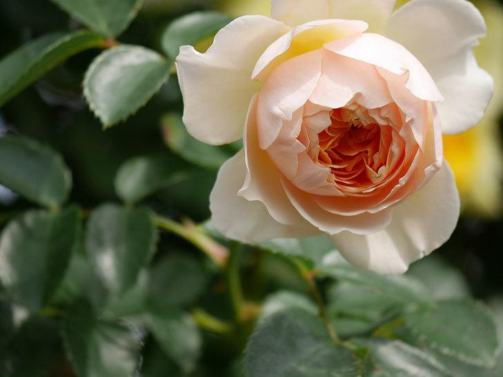 ジンジャー・シラバブ(Ginger Syllabub)の花が増えてきた。ツルバラ。2021年-134.jpg