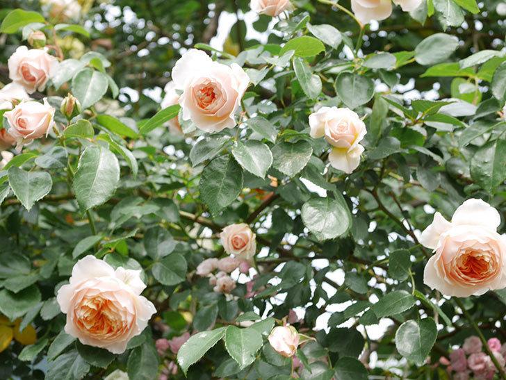ジンジャー・シラバブ(Ginger Syllabub)の花が増えてきた。ツルバラ。2021年-136.jpg