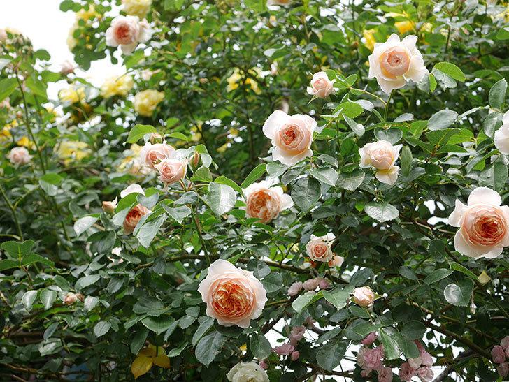 ジンジャー・シラバブ(Ginger Syllabub)の花が増えてきた。ツルバラ。2021年-137.jpg