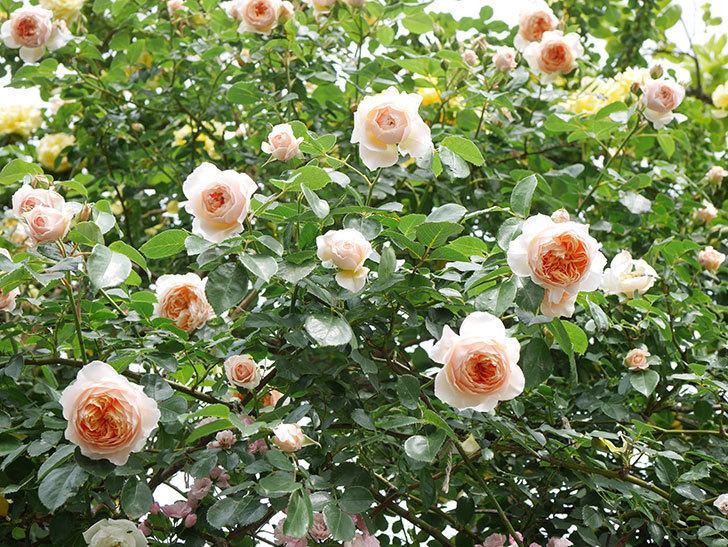 ジンジャー・シラバブ(Ginger Syllabub)の花が増えてきた。ツルバラ。2021年-139.jpg