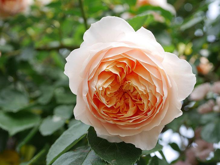ジンジャー・シラバブ(Ginger Syllabub)の花が増えてきた。ツルバラ。2021年-142.jpg