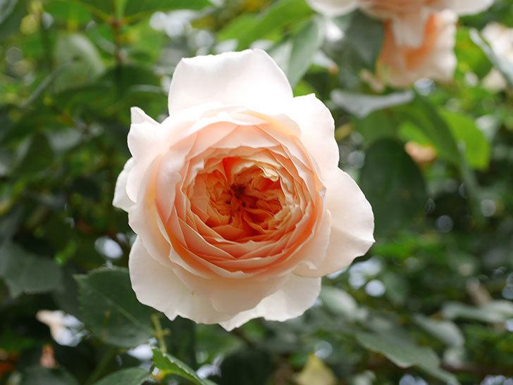 ジンジャー・シラバブ(Ginger Syllabub)の花が増えてきた。ツルバラ。2021年-143.jpg