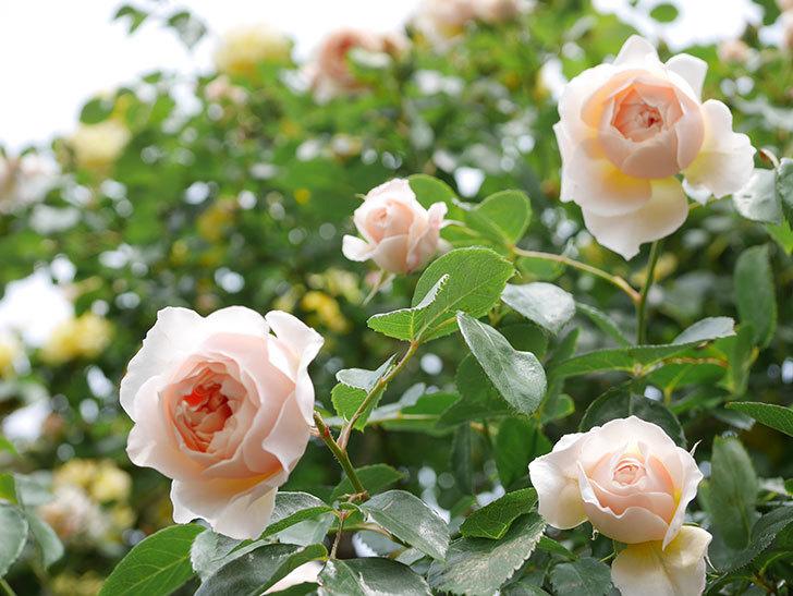 ジンジャー・シラバブ(Ginger Syllabub)の花が増えてきた。ツルバラ。2021年-144.jpg
