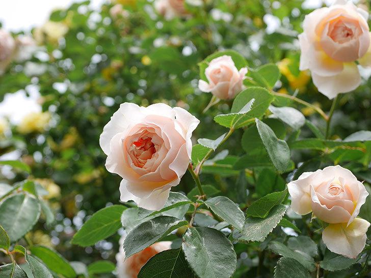 ジンジャー・シラバブ(Ginger Syllabub)の花が増えてきた。ツルバラ。2021年-145.jpg