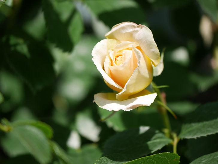 ジンジャー・シラバブ(Ginger Syllabub)の花が少し咲いた。ツルバラ。2021年-011.jpg