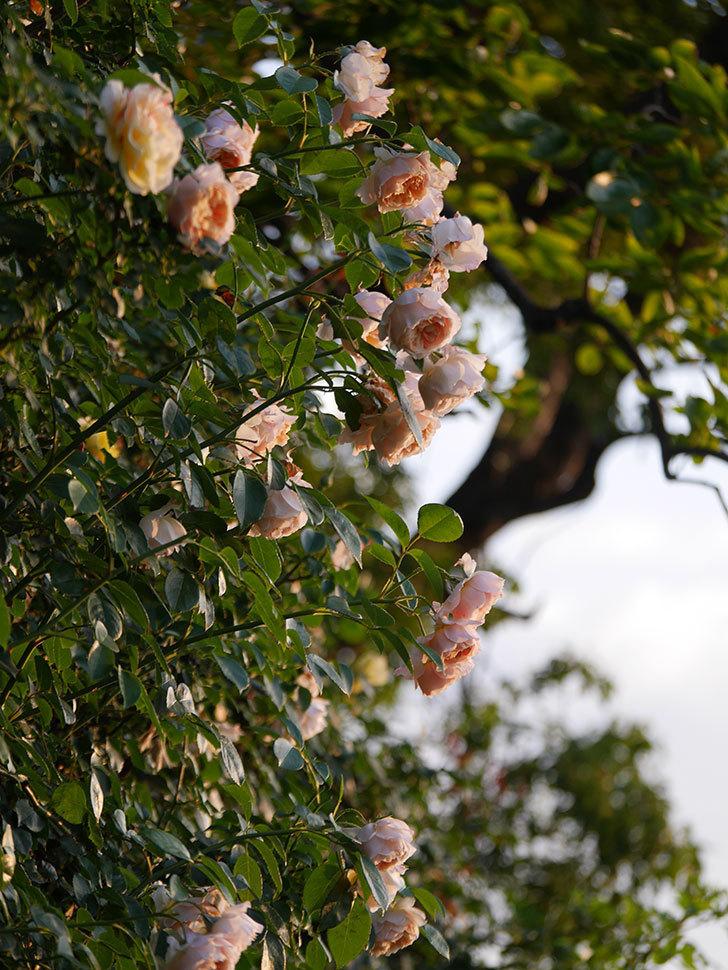 ジンジャー・シラバブ(Ginger Syllabub)の花が房で咲いた。ツルバラ。2020年-001.jpg