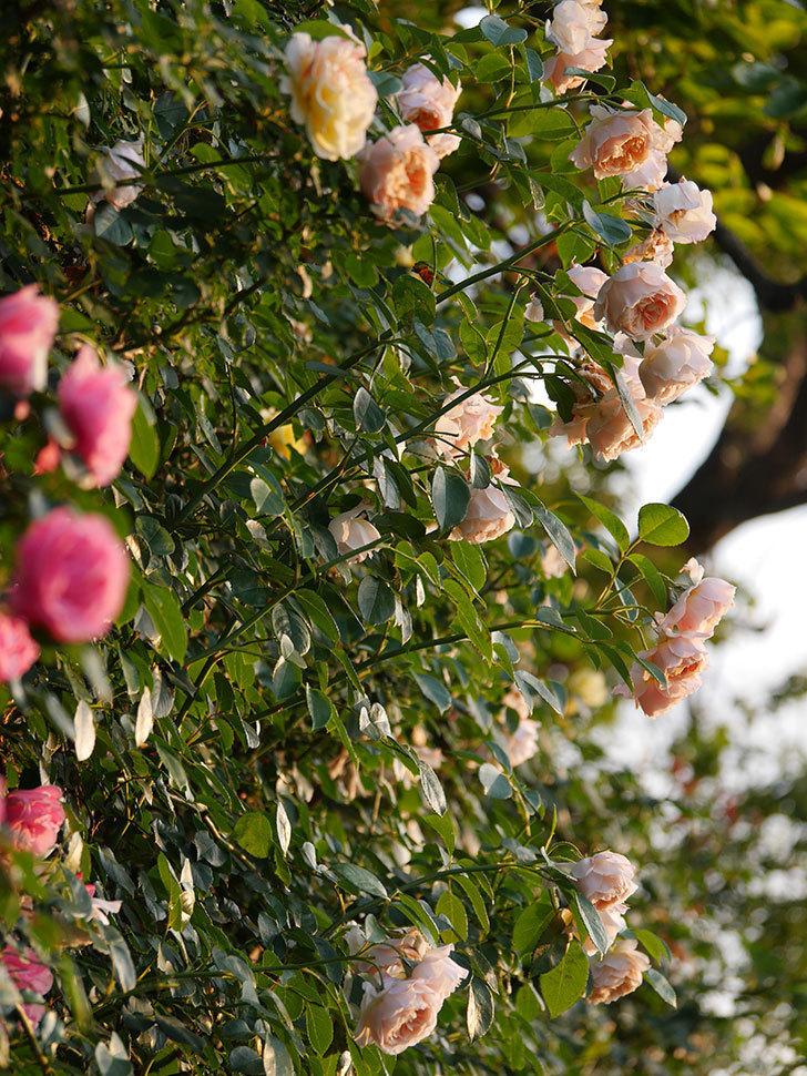 ジンジャー・シラバブ(Ginger Syllabub)の花が房で咲いた。ツルバラ。2020年-002.jpg