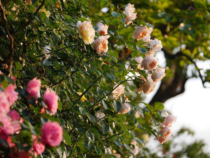 ジンジャー・シラバブ(Ginger Syllabub)の花が房で咲いた。ツルバラ。2020年-003.jpg