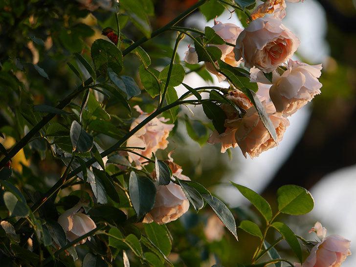 ジンジャー・シラバブ(Ginger Syllabub)の花が房で咲いた。ツルバラ。2020年-004.jpg