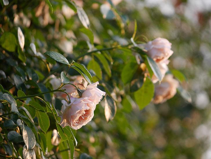ジンジャー・シラバブ(Ginger Syllabub)の花が房で咲いた。ツルバラ。2020年-005.jpg