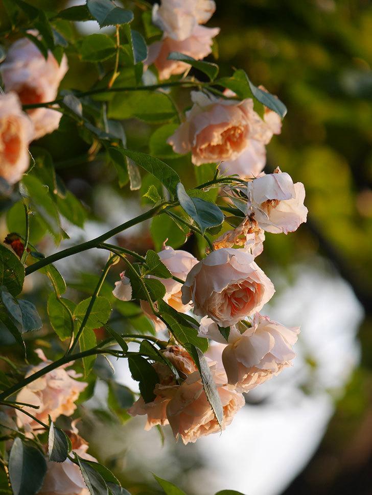ジンジャー・シラバブ(Ginger Syllabub)の花が房で咲いた。ツルバラ。2020年-006.jpg
