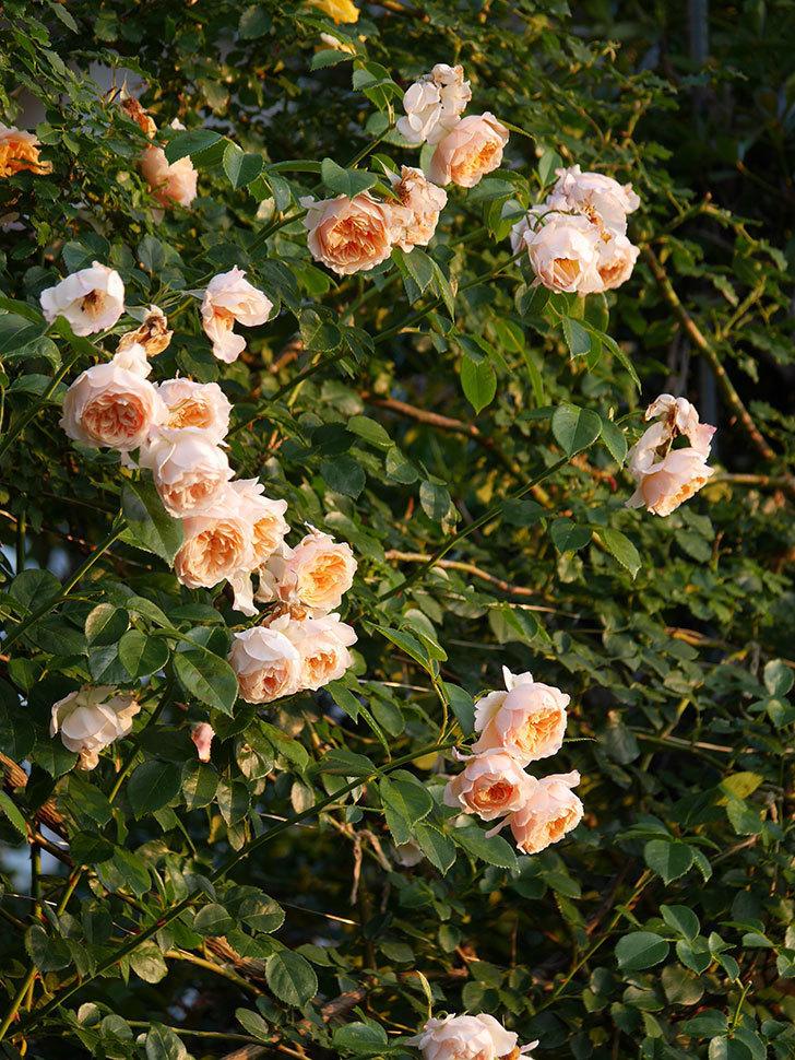 ジンジャー・シラバブ(Ginger Syllabub)の花が房で咲いた。ツルバラ。2020年-007.jpg